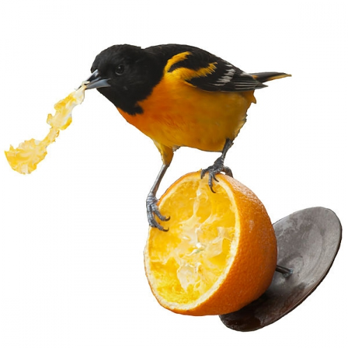 Photo de Baltimore oriole eating orange, jpg
