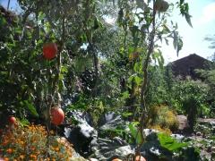 Photo de jardin avec tomates et fleurs d'été, jpg